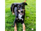 Adopt mAX a Australian Shepherd, Black Labrador Retriever