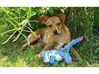 Louise $450 Chihuahua Puppy Female