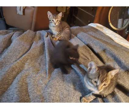 Kittens $80 each is a Female Young For Sale in Portland OR