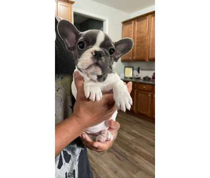 AKC Ace Frenchie Puppy is a Male French Bulldog Puppy For Sale in Raeford NC