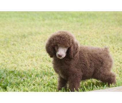Standard Poodle Males is a Male Standard Poodle For Sale in George West TX