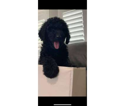 Black standard goldendoodle pup 8 wks available now is a Black Goldendoodle Puppy For Sale in West Sacramento CA