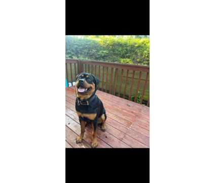 8 month old Rottweiller is a Male For Sale in Cleveland OH