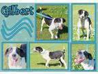 Adopt Gilbert a White - with Black Pointer / Mixed dog in Senatobia