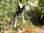 Adopt DeeDee a Black - with White Feist / Mixed dog in Hartford, CT (32559290)