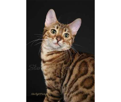 bengal is a Male Bengal Adult For Sale in Tucson AZ