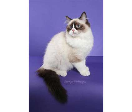ragdoll is a Bengal Adult For Sale in Tucson AZ