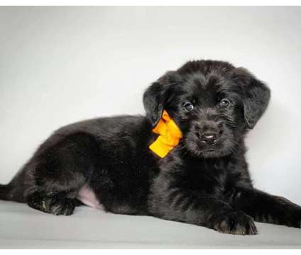 """""""Labradoodles"""" (Reserve one Today) is a Female Labradoodle Puppy For Sale in Modesto CA"""