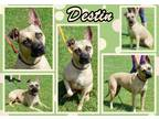 Adopt Destin a Tan/Yellow/Fawn - with Black Mountain Cur / Mixed dog in
