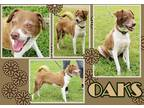 Adopt Oaks a Red/Golden/Orange/Chestnut - with White Feist / Mixed dog in