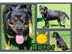 Adopt Rover a Black - with Tan, Yellow or Fawn Rottweiler / Mixed dog in