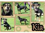 Adopt Kia a Black - with Tan, Yellow or Fawn Miniature Pinscher / Mixed dog in
