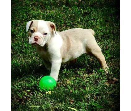 Olde english bulldogge puppies is a Female Olde English Bulldogge Puppy For Sale in Huntland TN