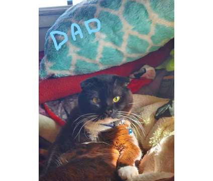 Scottish fold mix is a Scottish Fold Kitten For Sale in Oakland CA