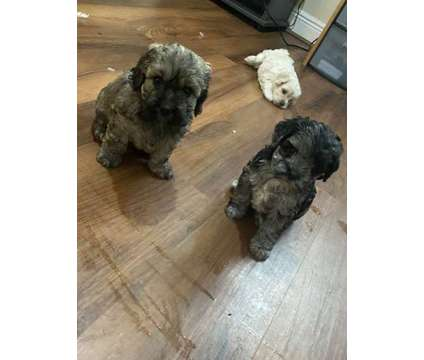 Cockapoo Puppies 8 weeks is a Female Cockapoo Puppy For Sale in Orlando FL