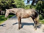 Stunning grey OTTB unlimited potential