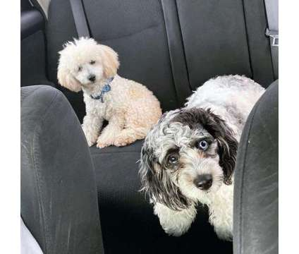 Merle Cockapoo Puppies is a Male Cockapoo Puppy For Sale in Orlando FL