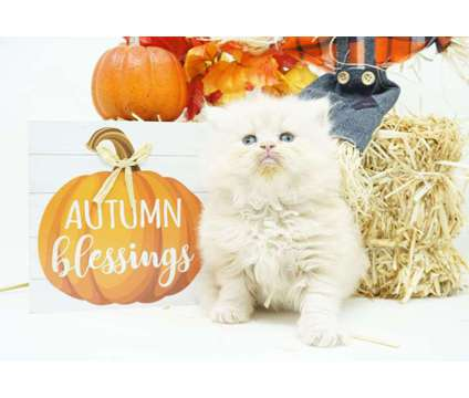 CFA Persian Kittens is a Persian Young For Sale in Mill Hall PA