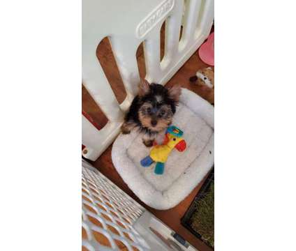 Yorkie pup is a Female Yorkshire Terrier For Sale in Springfield VA