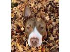 Louie American Staffordshire Terrier Young Male