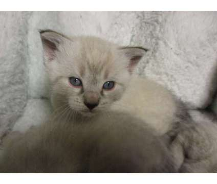 Siamese lynx point kittens male & female is a Male Siamese Young For Sale in Lancaster PA