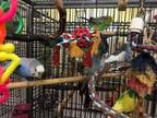 Adopt Pbs & Tweety a Budgie bird in Edgerton, WI (32608663)