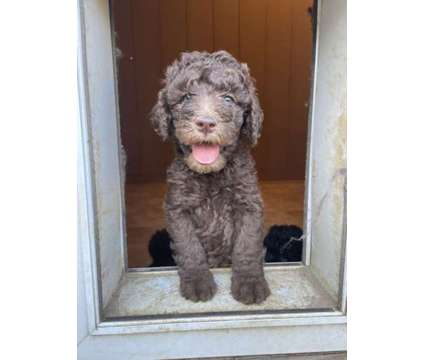 Akc Standard Poodles is a Female, Male Standard Poodle Puppy For Sale in Clinton NC