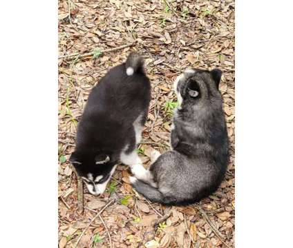 Siberian Husky Puppies is a Female Siberian Husky Puppy For Sale in Lakeland FL