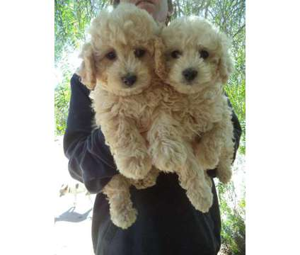 Cava-poo ..for the HOLIDAYS is a Female Cavapoo Puppy For Sale in Orange CA