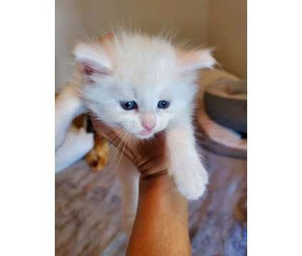 Maine Coon kittens is a Female Maine Coon Kitten For Sale in Janesville WI