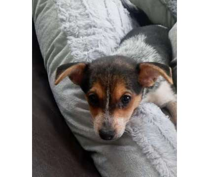 toy fox terrier is a Male Toy Fox Terrier Puppy For Sale in Wooster OH