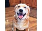 Adopt ANNABELLE a Golden Retriever, Carolina Dog