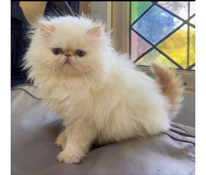 Himalayan Kitten Flame Lynx Pointed is a Male Himalayan Kitten For Sale in Middleboro MA