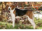 Adopt Willy a Black Treeing Walker Coonhound / Mixed dog in Cashiers