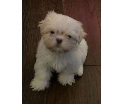 Shihtzu puppies is a Shih-Tzu Puppy For Sale in Collegedale TN