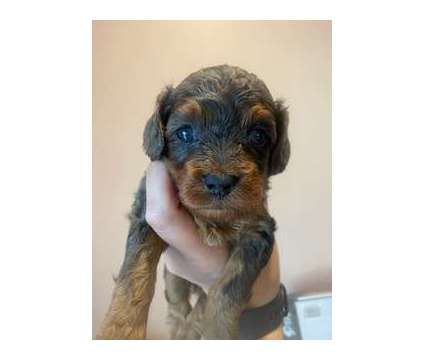Cavapoo is a Female Cavapoo Puppy For Sale in Rochester MN