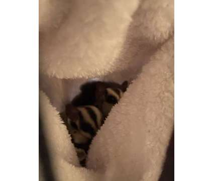 Sugar Glider pair is a Male Baby For Sale in Charlottesville VA