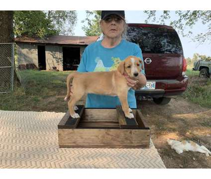 Portuguese Podengo Grande Smooth Puppies is a Puppy For Sale in Siloam Springs AR