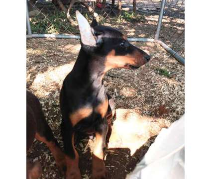 Doberman puppies is a Male Doberman Pinscher For Sale in Dix Hills NY