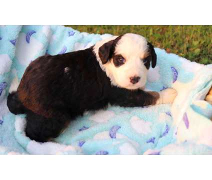 Bernedoodle Puppies is a Male Puppy For Sale in Chicago IL