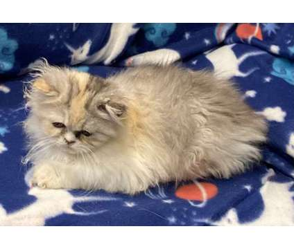 persian kitten is a Female Persian Kitten For Sale in Coquille OR