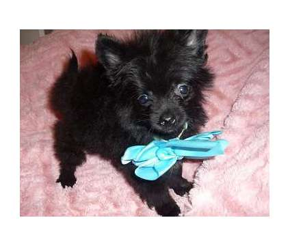 Pom is a Male Puppy For Sale in Jackson MS