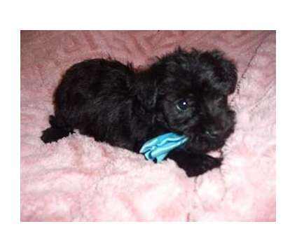 Toy Poodle is a Male Poodle Puppy For Sale in Jackson MS