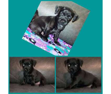Chorkie Puppies is a Male Chihuahua Puppy For Sale in Tarpon Springs FL