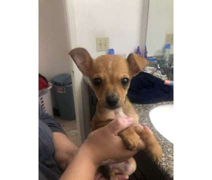 Chihuahua puppy is a Male Chihuahua Puppy For Sale in Houston TX