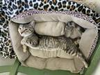 Adopt Lilly a Brown Tabby Domestic Shorthair / Mixed (short coat) cat in