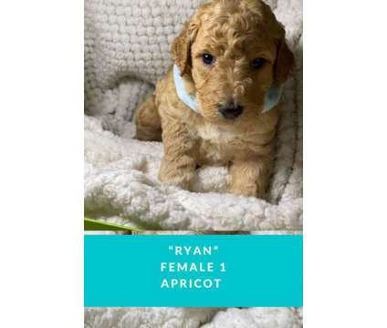 Akc standard poodles is a Male Standard Poodle Puppy For Sale in Houston TX
