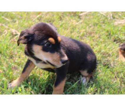Dobsky Puppy is a Female Puppy For Sale in Anderson CA