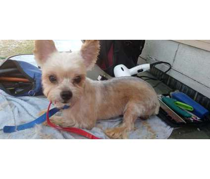 Yorkie male is a Male Yorkshire Terrier For Sale in East Chicago IN