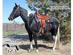 Amazing homozygous black trail mare in foal to AA perlino for 2022